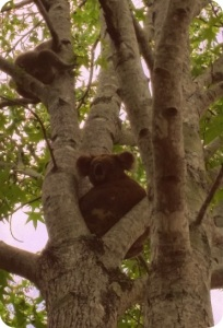 koala c